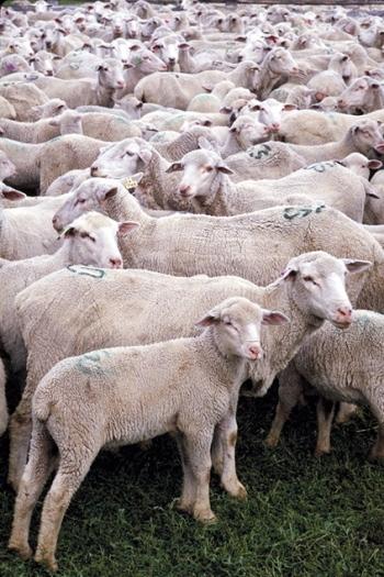 USDA Sheep